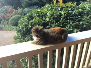 Duckhorn Cat